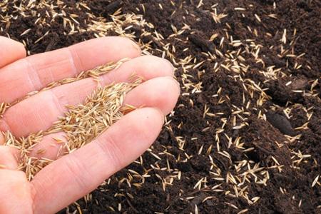 human hand holding grass seeds