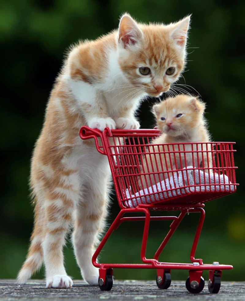 cat with shopping cart with a kitten in it