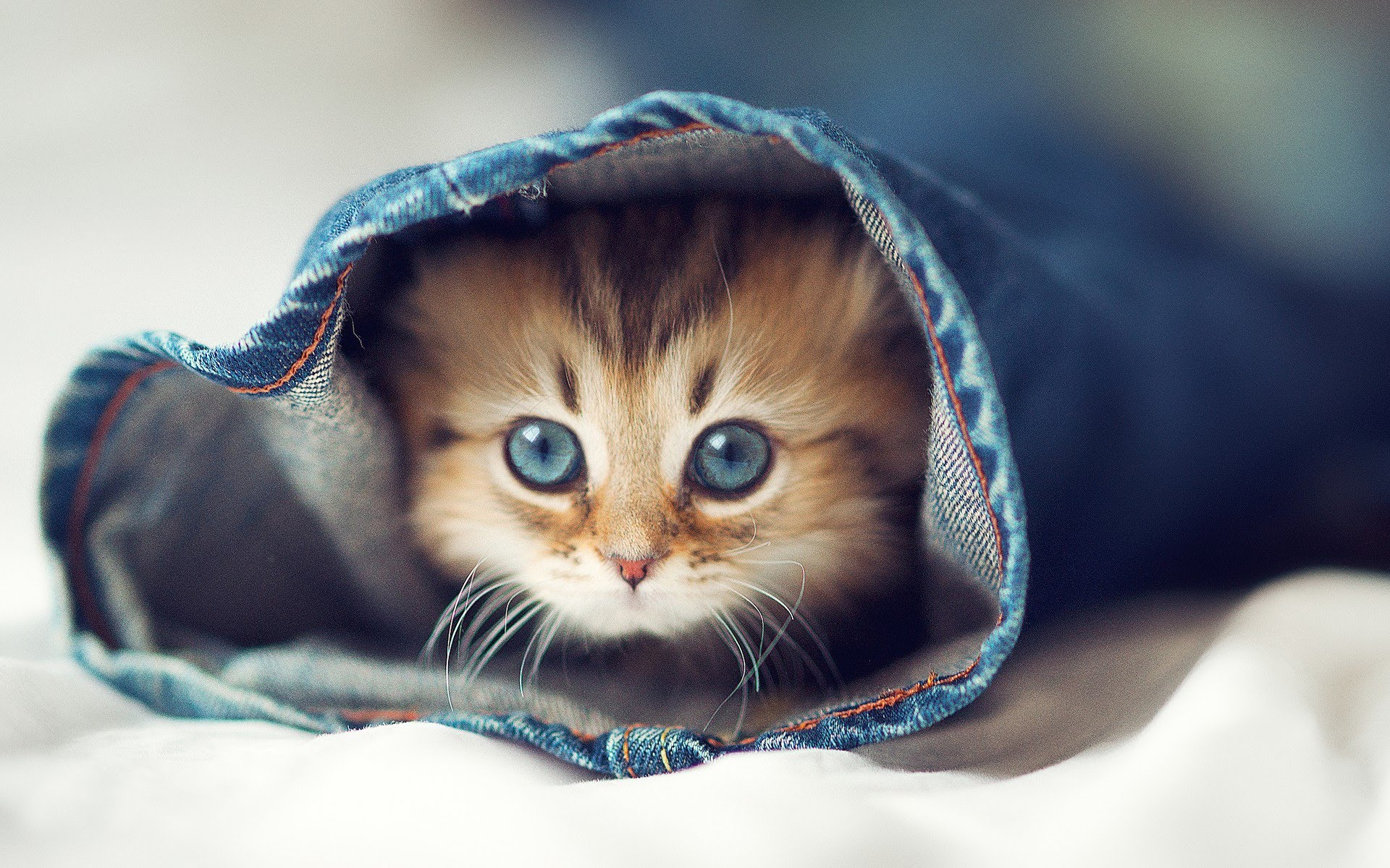 kitten looking out of jeans