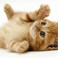 ginger playful kitten
