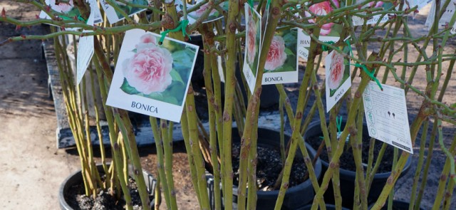 bare root roses