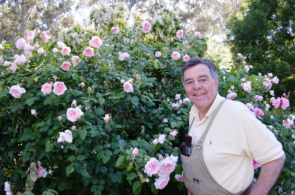 professional gardener near pale pink rose bushes