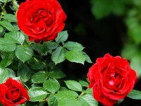 How to plant a rose bush