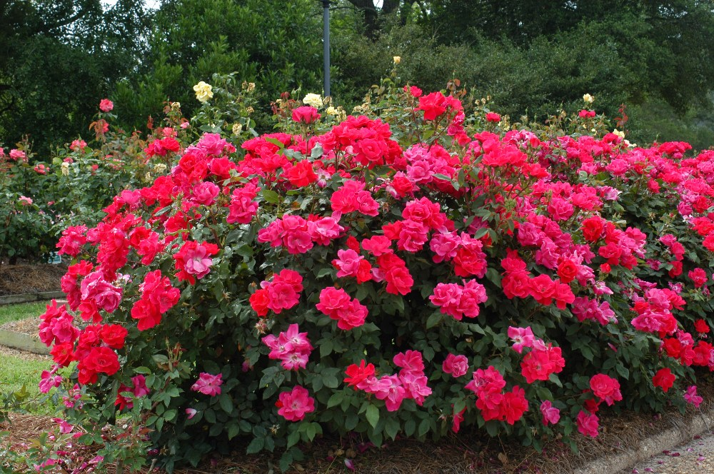 red rose bushes