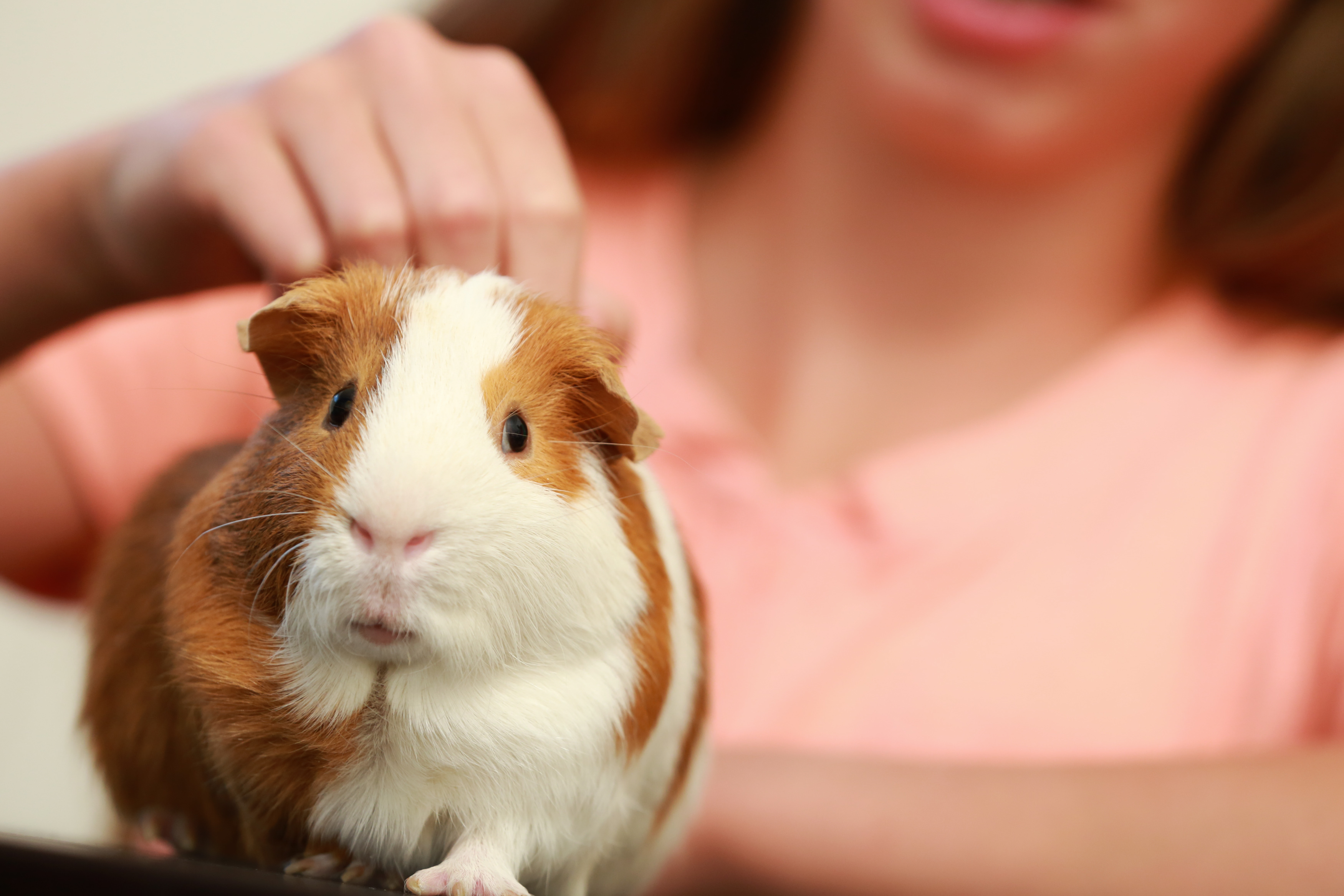 How to take care of guinea pigs   HireRush Blog