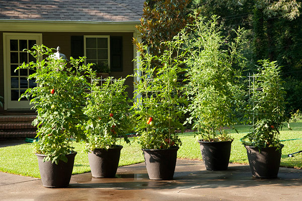 Tomatoes In Large Pots