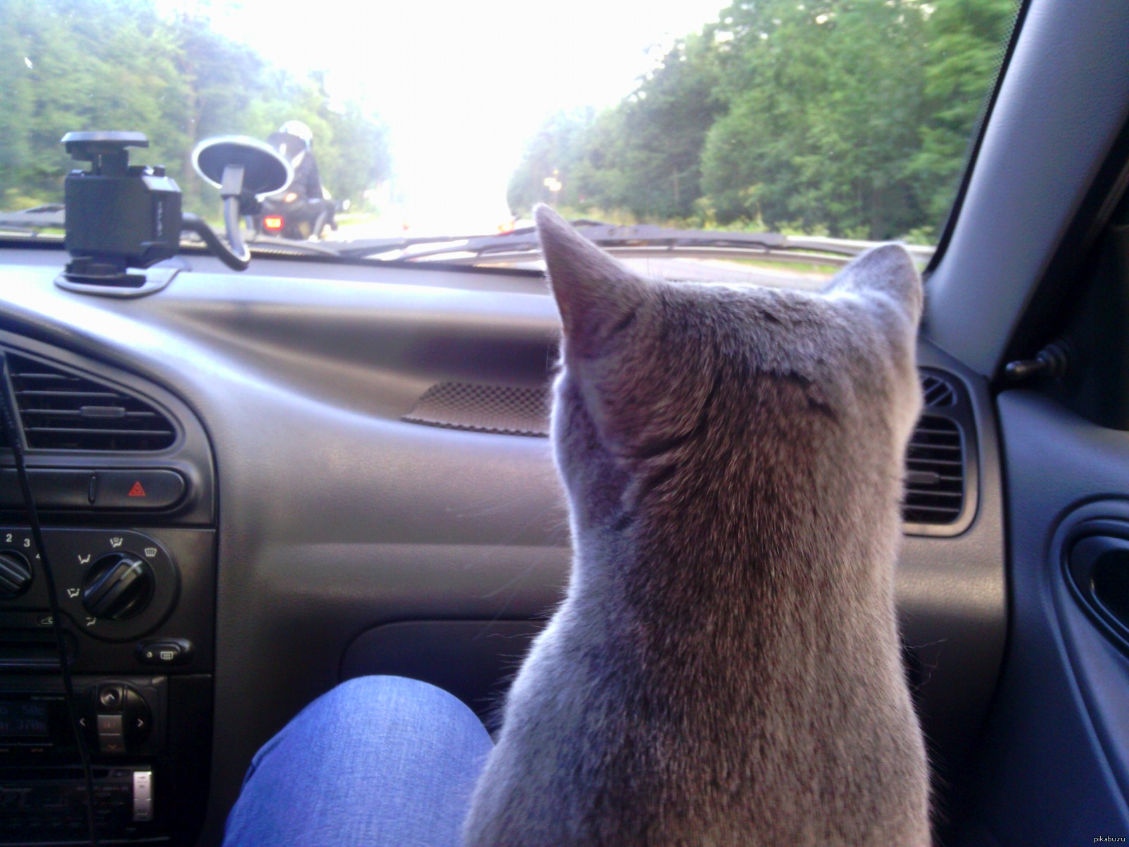 gray cat sitting on someone s lap in car and looking at the front window
