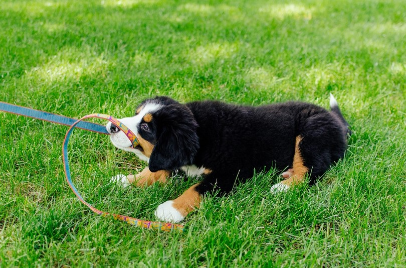 puppy bites leash