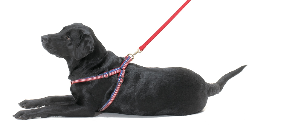 black labrador with patriotic harness and leash on