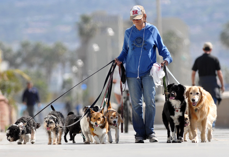 dog walker walking a bunch of dogs