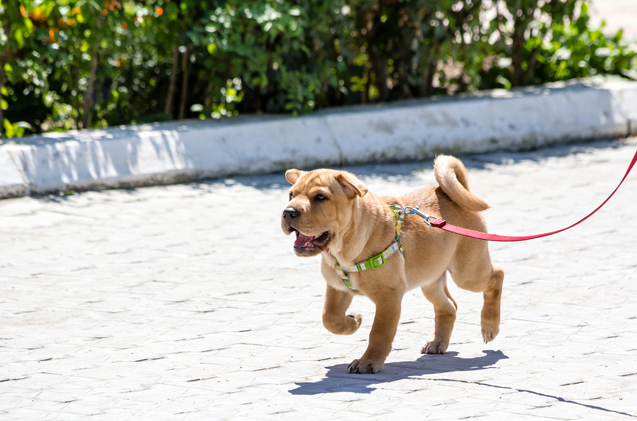 puppy walking on a leash outdoors