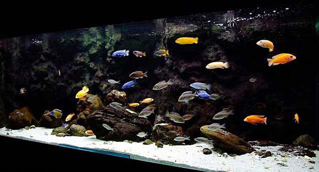 How to choose compatible fish for aquarium hirerush blog for Good community fish