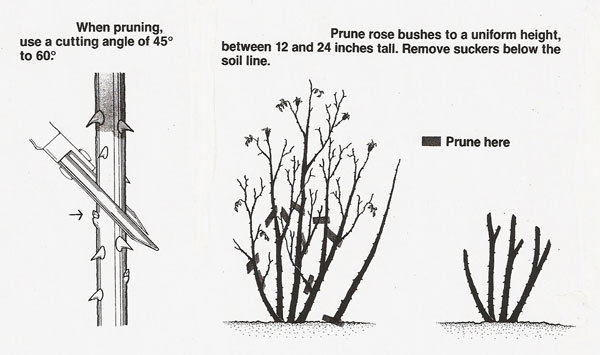 How To Prune Rose Bushes Hirerush Blog