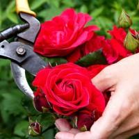prunning roses