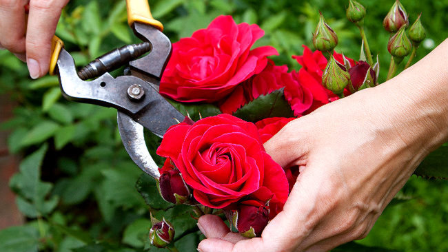 Image result for Pruning a rose bush