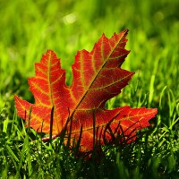 maple-leaf-3680684_1920