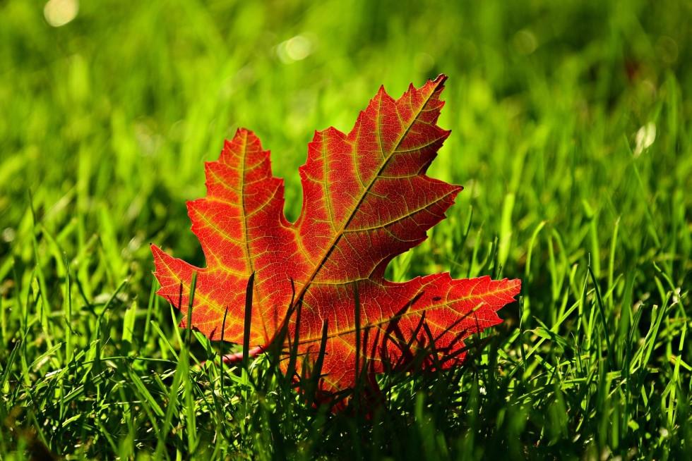 maple-leaf-3680684_1920