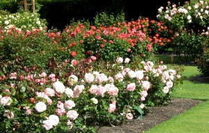 rose bushes in garden