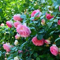 roses-3426105_1920