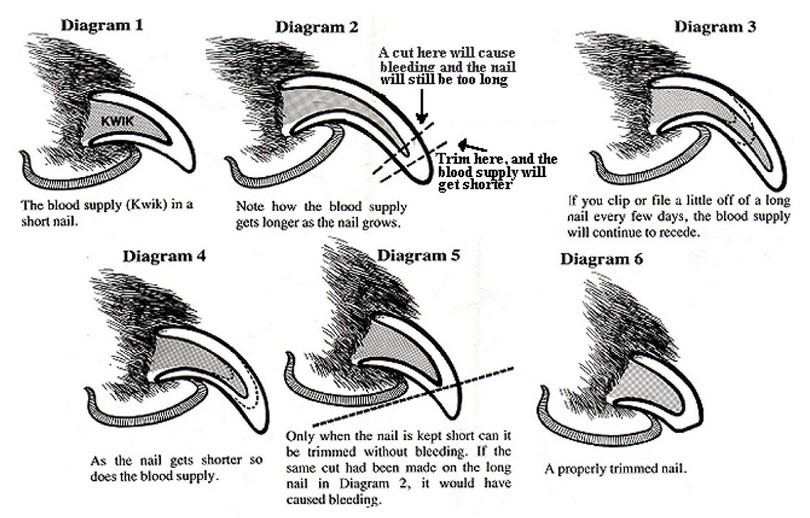 dog nail trimming diagram