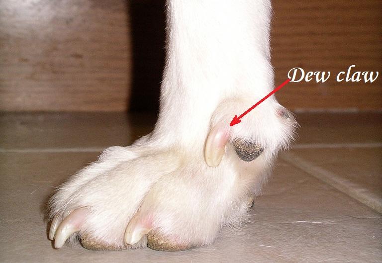 dog-dew-claw
