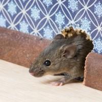 mice in mite