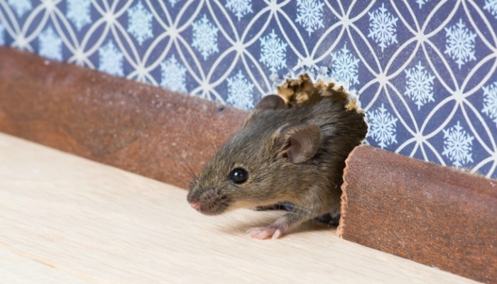 How to get rid of mice in your house hirerush blog mice in mite ccuart Gallery