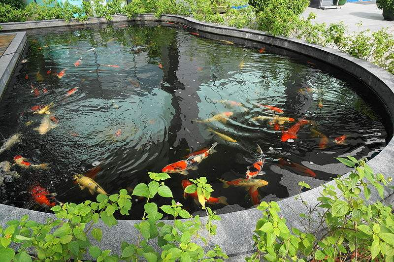 Koi pond maintenance keep your pond live and healthy for Koi pool water gardens blackpool