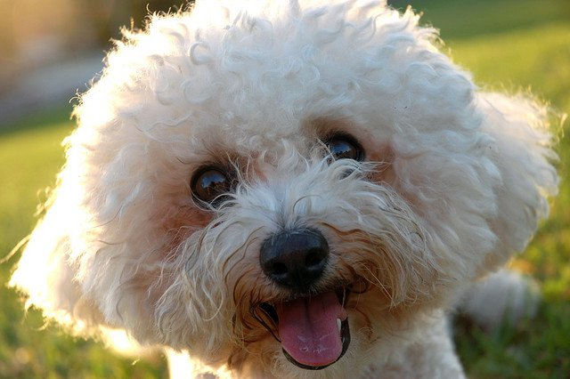 bichon frise pet for people with allergies