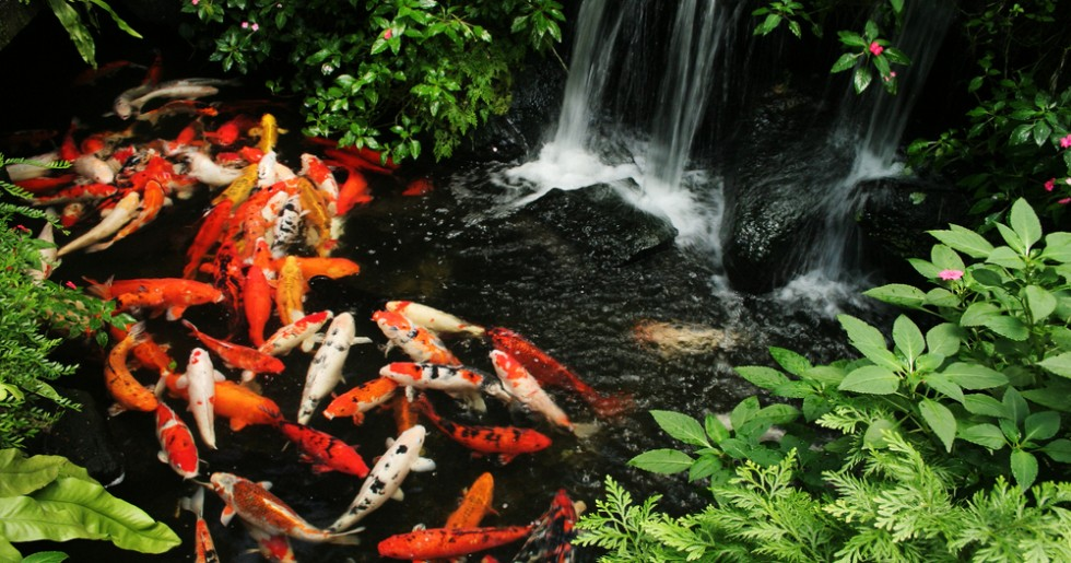 Koi pond maintenance keep your pond live and healthy for Koi fish pond maintenance