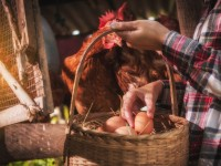 Ultimate guide to raising backyard chickens