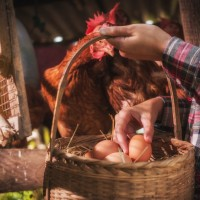 woman collecting eggs from backyard chickens