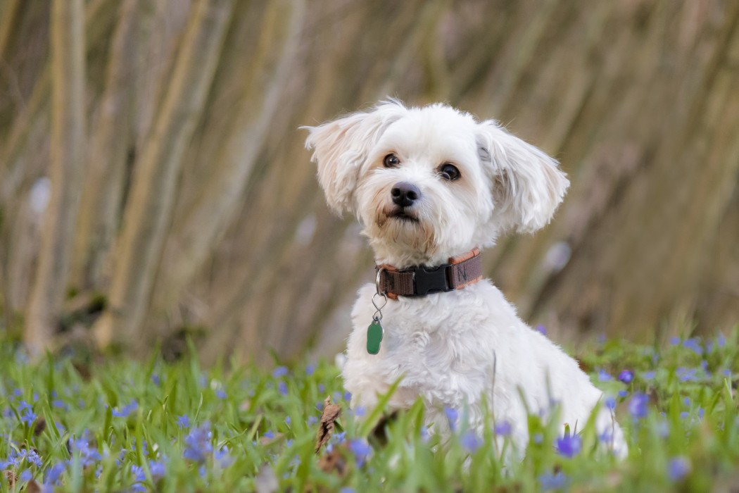 bichon frise on grass with purple flowers