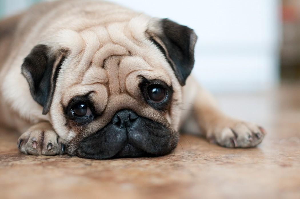 cute creme pug on floor