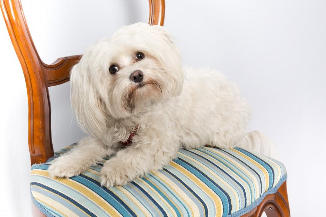 maltese dog on blue striped chair