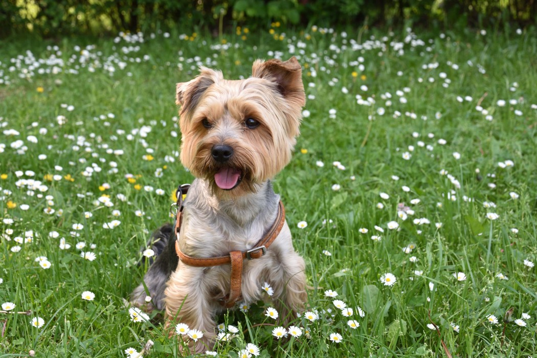 yorksire terrier best dog for first-time owners