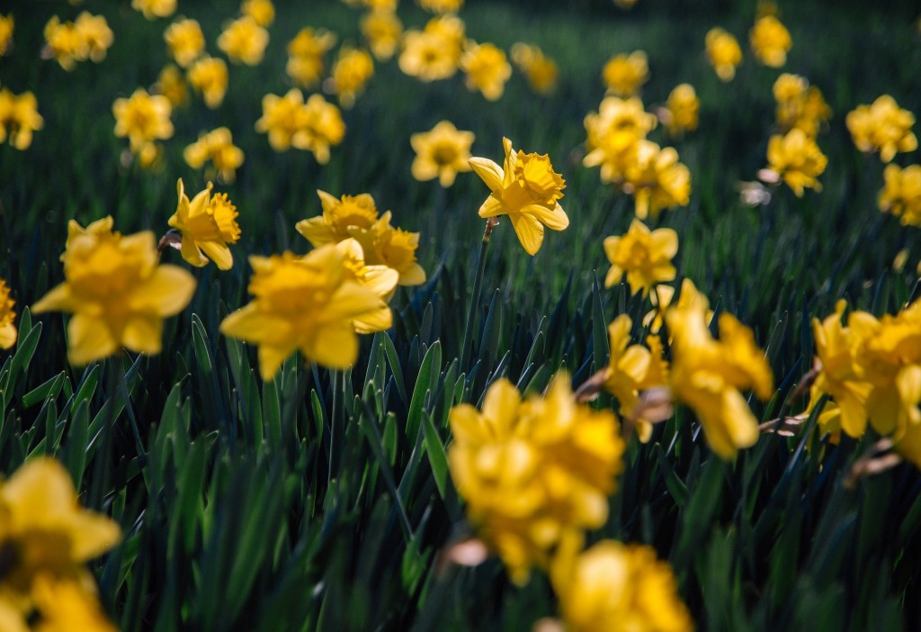 daffodils-6157253_1920