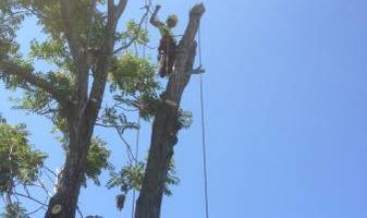 Tree Removal/Stump Grinding/Pruning