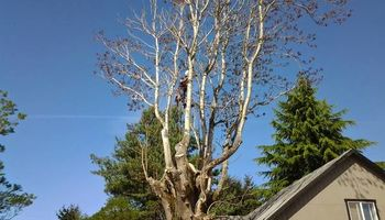 $25.00/hr Professional Tree Trimmer