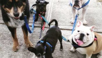Dog Walking & Pet-sitting (9+ Years Experience) Insured