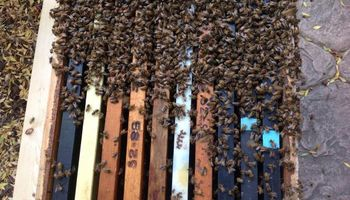 CA BEE SWARM REMOVAL