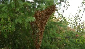Bee Swarm Removal from $150 by Nick