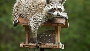 Wildlife Control - raccoons, beaver, squirrels, rabbits, muskrats, foxes...