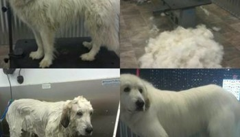 Dapper Dog Grooming. ALL BREED DOG GROOMING In-home and cage-free!