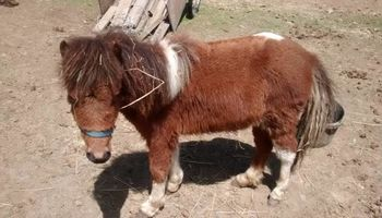 HEAVEN PONIES FOR PARTIES. PONY RIDES AND PETTING ZOO