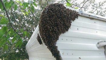 Honey Bee / Swarm Removal FREE