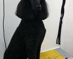 DOG NAMED JAVA K9 GROOMING