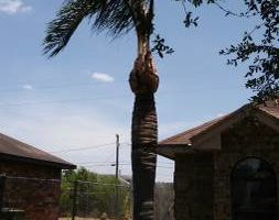 Palms & trees trim, remove... 15 yrs of experience