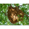 Free honey bee swarm removal, prompt service!