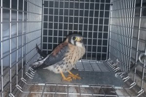 Photo #4: Trapper King Animal Removal